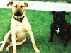 labrador and staffy