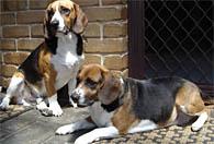 Beagles waiting for Adelaide dog trainer Sam.
