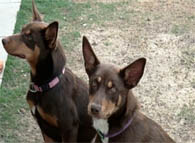 Two Kelpies waiting to be trained
